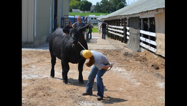 A 4-H'er struggles to lead her cow Wednesday at the Greene County Fair. The fair runs through Monday.