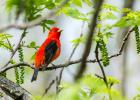 A male scarlet tanager lights up the green vegetation in Matt Wetrich's yard like a neon sign.